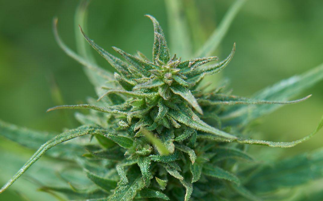 Kannabinoidisynteesi
